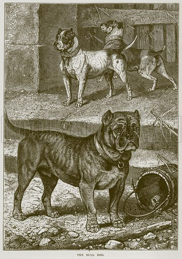 The Bull Dog. Illustration from Cassell's Natural History (Cassell, 1883).