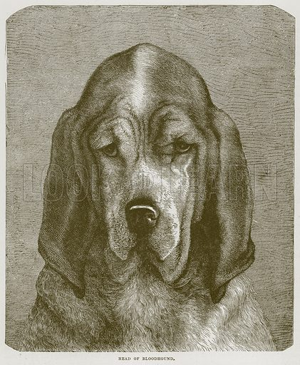 Head of Bloodhound. Illustration from Cassell's Natural History (Cassell, 1883).