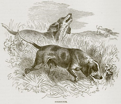 Foxhounds. Illustration from Cassell's Natural History (Cassell, 1883).
