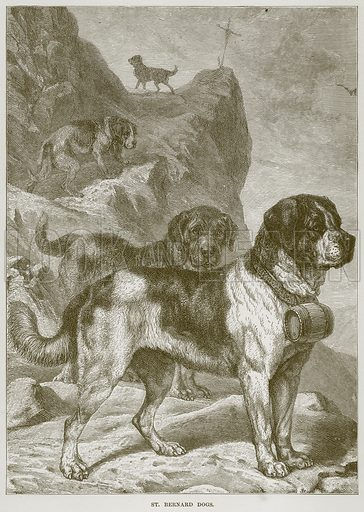 St Bernard Dogs. Illustration from Cassell's Natural History (Cassell, 1883).