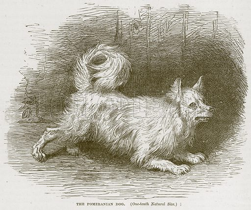 The Pomeranian Dog. Illustration from Cassell's Natural History (Cassell, 1883).