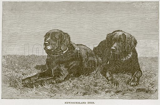 Newfoundland Dogs. Illustration from Cassell's Natural History (Cassell, 1883).