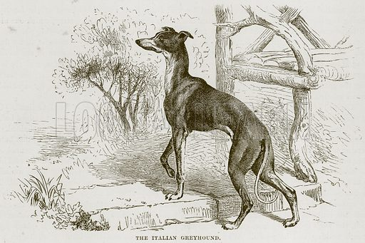 The Italian Greyhound. Illustration from Cassell's Natural History (Cassell, 1883).