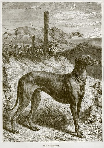 The Greyhound. Illustration from Cassell's Natural History (Cassell, 1883).
