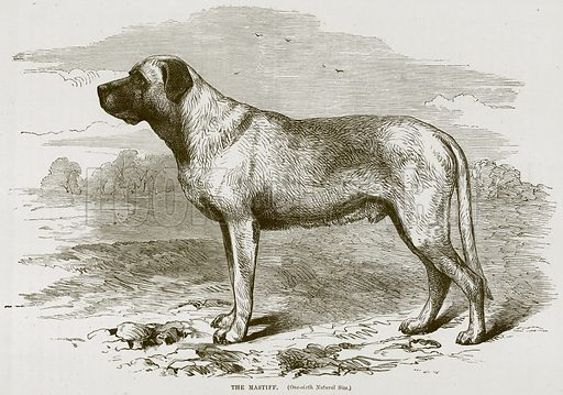 The Mastiff. Illustration from Cassell's Natural History (Cassell, 1883).