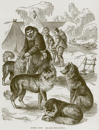 Eskimo Dogs. Illustration from Cassell's Natural History (Cassell, 1883).
