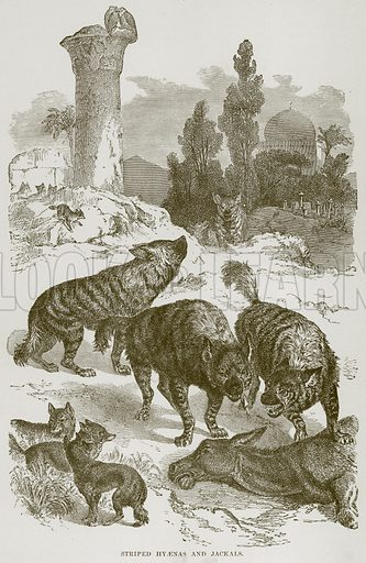 Striped Hyaenas and Jackals. Illustration from Cassell's Natural History (Cassell, 1883).