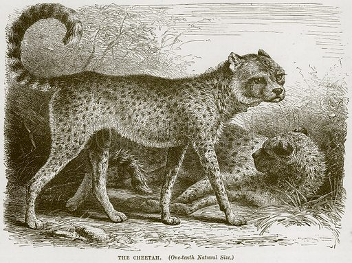 The Cheetah. Illustration from Cassell's Natural History (Cassell, 1883).