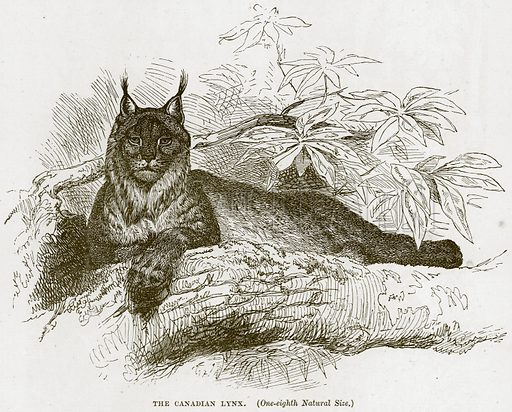The Canadian Lynx. Illustration from Cassell's Natural History (Cassell, 1883).