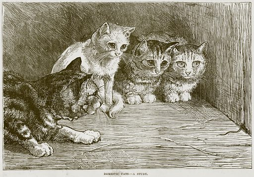 Domestic Cats – A Study. Illustration from Cassell's Natural History (Cassell, 1883).
