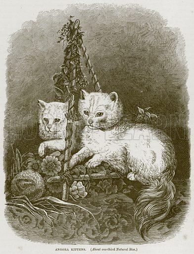 Angora Kittens. Illustration from Cassell's Natural History (Cassell, 1883).