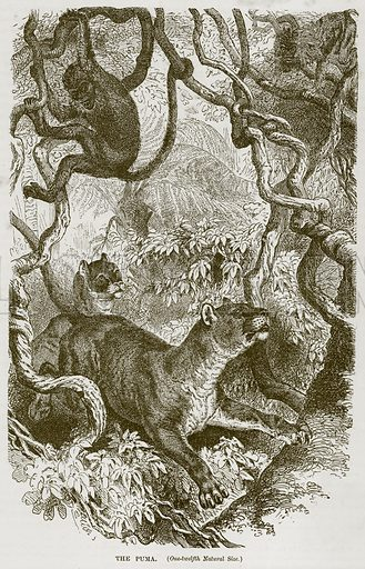 The Puma. Illustration from Cassell's Natural History (Cassell, 1883).