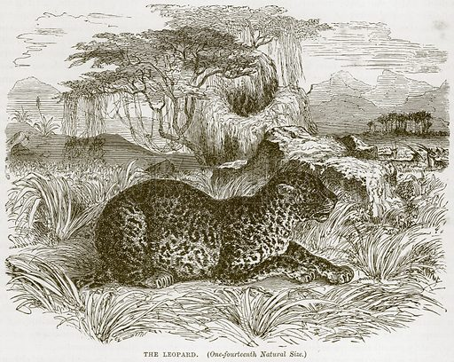 The Leopard. Illustration from Cassell's Natural History (Cassell, 1883).