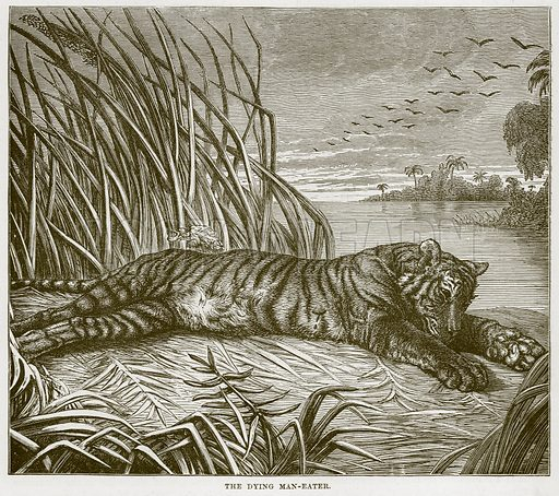 The Dying Man-Eater. Illustration from Cassell's Natural History (Cassell, 1883).