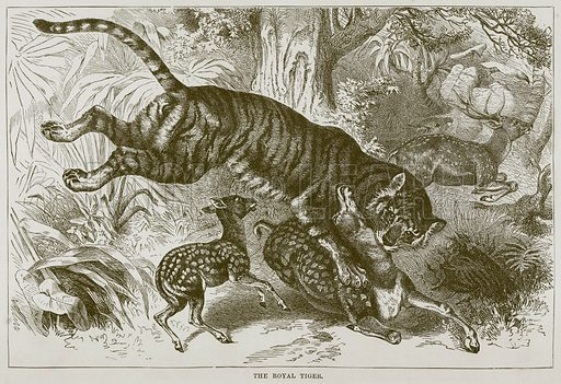 The Royal Tiger. Illustration from Cassell's Natural History (Cassell, 1883).