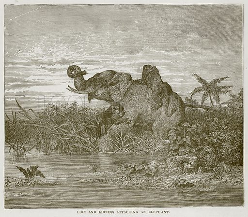 Lion and Lioness attacking an Elephant. Illustration from Cassell's Natural History (Cassell, 1883).