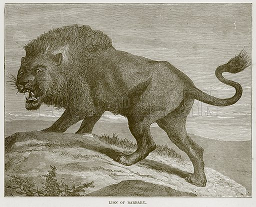 Lion of Barbary. Illustration from Cassell's Natural History (Cassell, 1883).