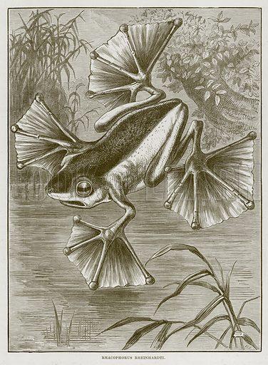 Rhacophorus Rheinhardti. Illustration from Cassell's Natural History (Cassell, 1883).