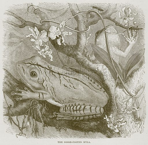 The Goose-Footed Hyla. Illustration from Cassell's Natural History (Cassell, 1883).