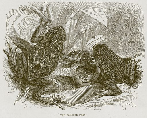 The Pouched Frog. Illustration from Cassell's Natural History (Cassell, 1883).