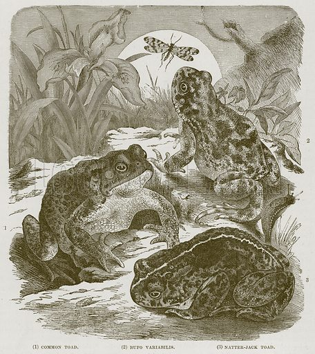 (1) Common Toad. (2) Bufo Variabilis. (3) Natter-Jack Toad. Illustration from Cassell's Natural History (Cassell, 1883).