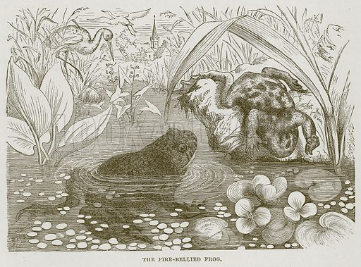 The Fire-Bellied Frog. Illustration from Cassell's Natural History (Cassell, 1883).