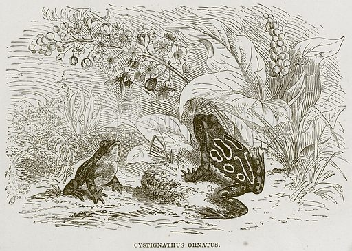 Cystignathus Ornatus. Illustration from Cassell's Natural History (Cassell, 1883).