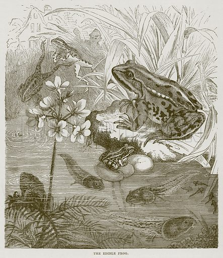 The Edible Frog. Illustration from Cassell's Natural History (Cassell, 1883).