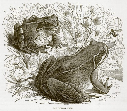 The Common Frog. Illustration from Cassell's Natural History (Cassell, 1883).