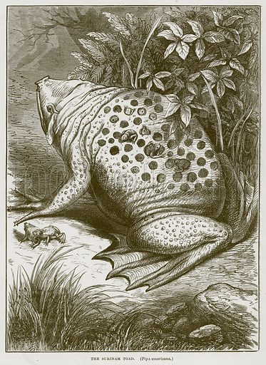 The Surinam Toad. (Pipa Americana.) Illustration from Cassell's Natural History (Cassell, 1883).