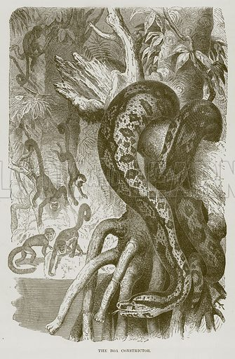 The Boa Constrictor. Illustration from Cassell's Natural History (Cassell, 1883).