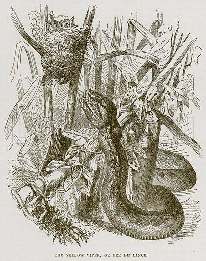 The Yellow Viper, or Fer de Lance. Illustration from Cassell's Natural History (Cassell, 1883).