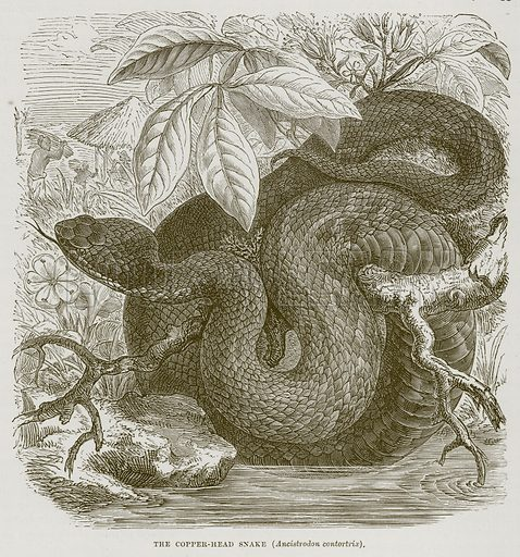 The Copper-Head Snake (Ancistrodon Contortrix). Illustration from Cassell's Natural History (Cassell, 1883).