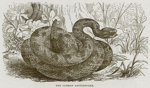 The Common Rattlesnake. Illustration from Cassell's Natural History (Cassell, 1883).