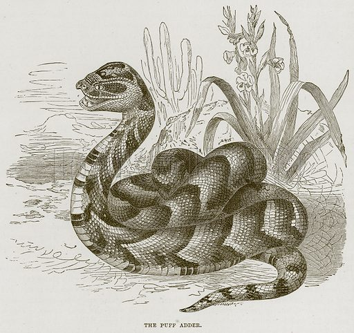 The Puff Adder. Illustration from Cassell's Natural History (Cassell, 1883).