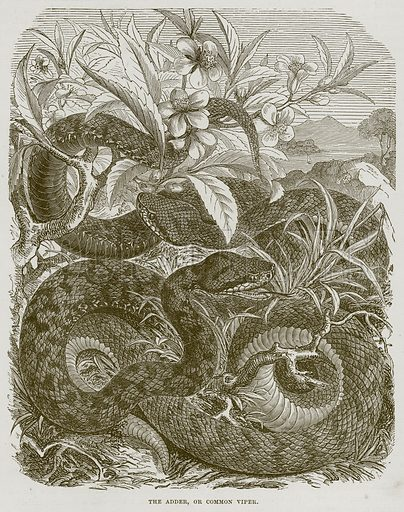 The Adder, or Common Viper. Illustration from Cassell's Natural History (Cassell, 1883).