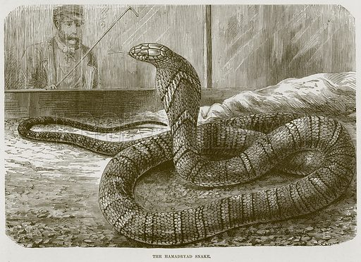 The Hamadryad Snake. Illustration from Cassell's Natural History (Cassell, 1883).
