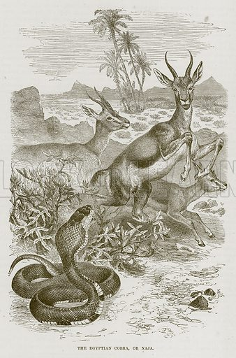 The Egyptian Cobra, or Naja. Illustration from Cassell's Natural History (Cassell, 1883).