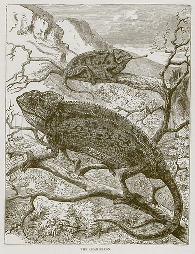 The Chamaeleon. Illustration from Cassell's Natural History (Cassell, 1883).