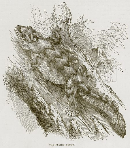The Flying Gecko. Illustration from Cassell's Natural History (Cassell, 1883).