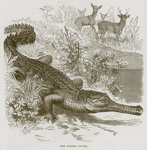 The Ganges Gavial. Illustration from Cassell's Natural History (Cassell, 1883).