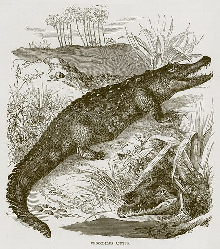Crocodilus Acutus. Illustration from Cassell's Natural History (Cassell, 1883).