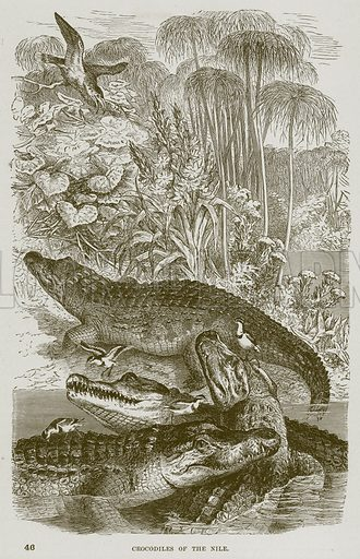 Crocodiles of the Nile. Illustration from Cassell's Natural History (Cassell, 1883).