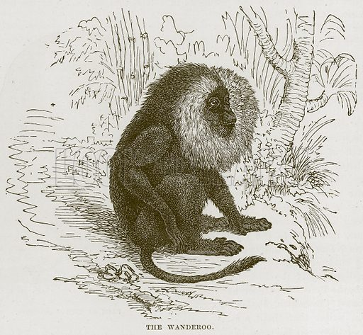 The Wanderoo. Illustration from Cassell's Natural History (Cassell, 1883).