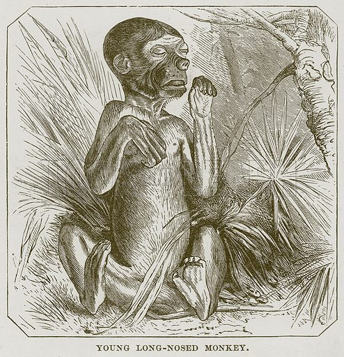 Young Long-Nosed Monkey. Illustration from Cassell's Natural History (Cassell, 1883).