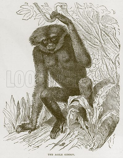 The Agile Gibbon. Illustration from Cassell's Natural History (Cassell, 1883).