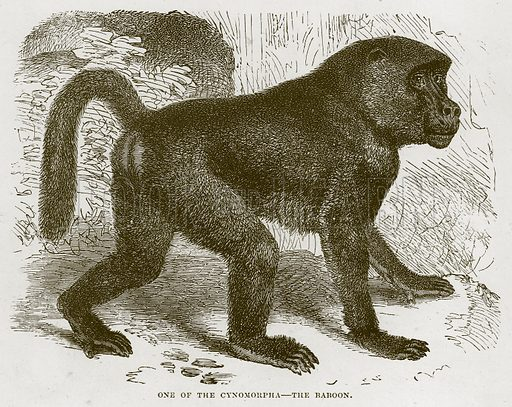 One of the Cynomorpha – The Baboon. Illustration from Cassell's Natural History (Cassell, 1883).