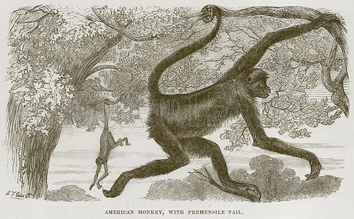 American Monkey, with Prehensile Tail. Illustration from Cassell's Natural History (Cassell, 1883).