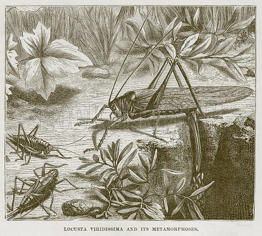 Locusta Viridissima and its Metamorphoses. Illustration from Cassell's Natural History (Cassell, 1883).
