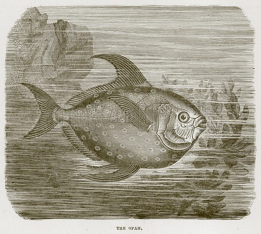The Opah. Illustration from Cassell's Natural History (Cassell, 1883).
